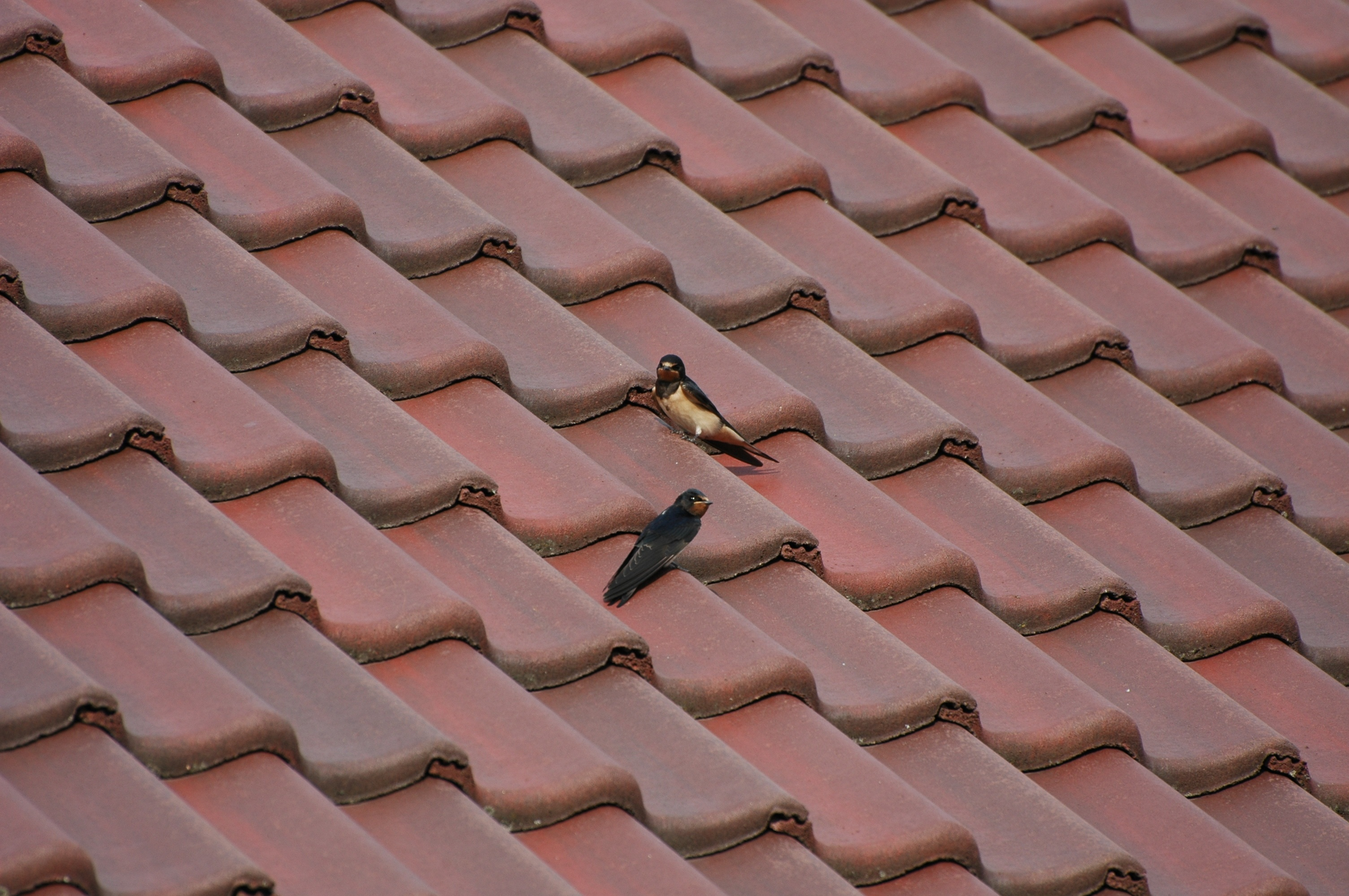Birds on a roof